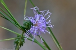 HSNP Hot Springs Mountain Road Southern Blazing Star