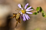 HSNP North Mt Loop Fiery Skipper Butterfly on Aster