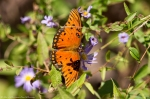 HSNP North Mt Loop Fritillary, Gulf Butterfly on Aster