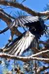 Lake Ouachita State Park American Crow