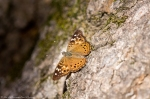 HSNP Fountain Street Hackberry Emperor Butterfly
