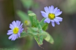 HSNP Hot Springs Mountain Trail Aster