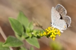 HSNP Sugarloaf Mt. Sunset Trail Gray Hairstreak Butterfly