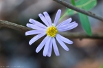 HSNP Sugarloaf Mt. Sunset Trail Aster