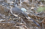 HSNP Hot Springs Mt  Promenade Mockingbird with Insect