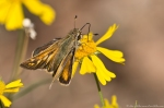 HSNP Sunset Trail Sneezeweed Delaware Skipper Butterfly