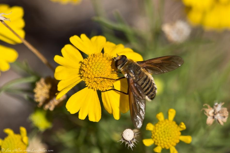 HSNP Sunset Trail Sneezeweed False Bee