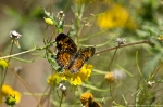 HSNP Sunset Trail  Pearl Crescent Butterfly