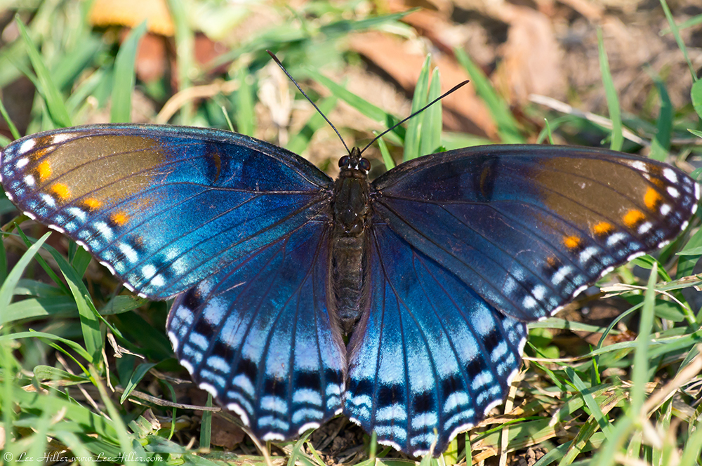 Butterflies: Red Spotted Purple Butterfly | Hike Our ...