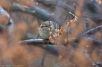 HSNP Hot Springs Mountain House Sparrow