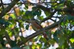HSNP Peak Trail Juvenile Robin