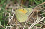 HSNP Promenade Orange Sulphur Butterfly