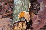 HSNP Hot Springs Mountain Trail Autumn Fungus