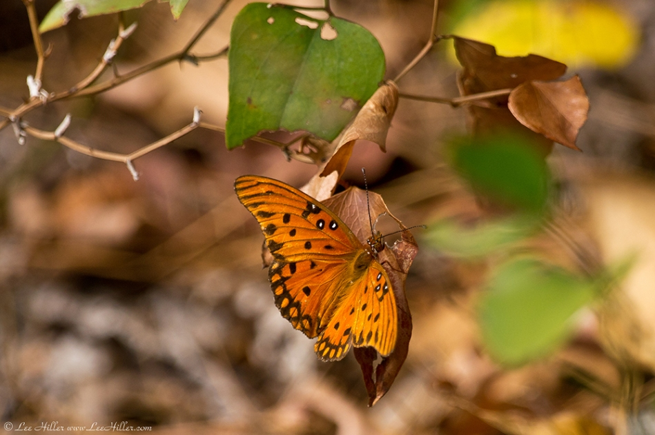 HSNP West Mt Oak Trail Autumn Gulf Fritillary Butterfly