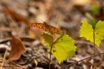 HSNP West Mt Oak Trail Autumn Gulf Fritillary Butterfly