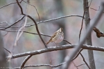 HSNP Hot Springs Mountain Trail Autumn Hermit Thrush