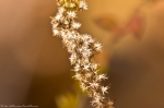 HSNP Hot Springs Mountain Trail Goldenrod Seeds