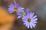 HSNP West Mountain Oak Trail Autumn Aster