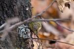 HSNP Hot Springs Mountain Trail Orange Crowned Warbler