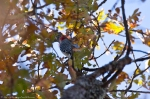 HSNP Hot Springs Mountain Trail Red-Bellied Woodpecker