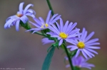HSNP West Mountain Loop Trail Autumn Aster