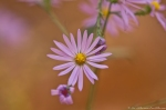 HSNP West Mt Top Trail Autumn Aster