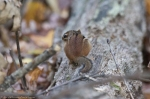 HSNP West Mountain Loop Trail Autumn Chipmunk