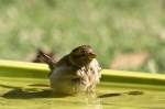 HSNP House Sparrow in Splash Pool
