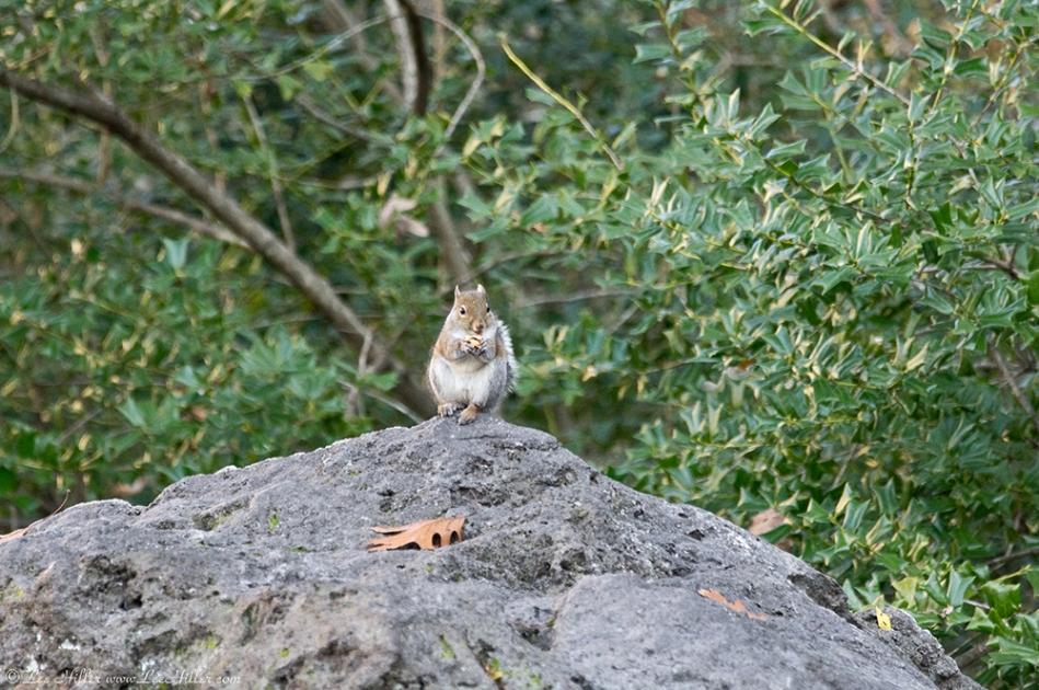 HSNP Arlington Lawn Tufa Rock Squirrel