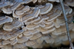 HSNP Tufa Terrace Trail False Turkey Tail Fungi
