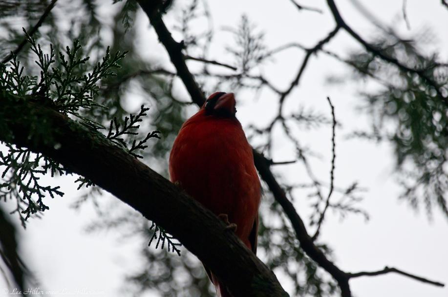 HSNP Tufa Terrace Trail Male Cardinal