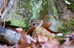 HSNP West Mt Canyon Trail Winter Chipmunk
