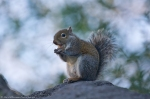 HSNP Arlington Lawn Tufa Rock Squirrel