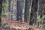 HSNP Upper Dogwood Trail Whitetail Deer Doe
