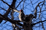 HSNP Upper Dogwood Northern Flicker