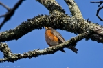 HSNP Carriage Road American Robin