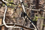 HSNP Upper Dogwood Male Downy Woodpecker