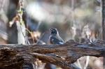HSNP Upper Dogwood American Robin