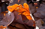 HSNP West Mt Canyon Trail Winter Glowing Leaves