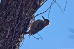 HSNP Dead Chief Trail Red-Bellied Woodpecker Nesting