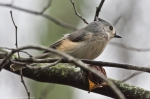 HSNP Hot Spring Mountain Road Tufted Titmouse