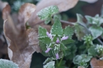 HSNP Fountain Trail Winter Purple Deadnettle