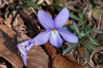 HSNP Goat Rock Trail Winter Bird-Foot Violet
