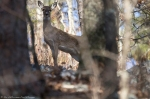 HSNP Goat Rock Trail Winter Whitetail Deer Doe