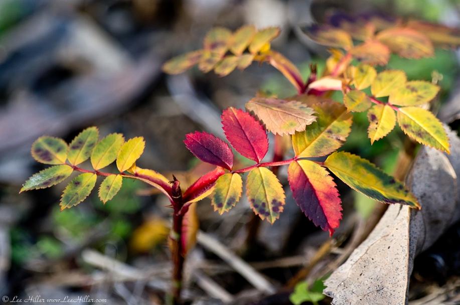 HSNP Tufa Terrace Trail  Wild Rose Leaves