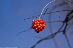 HSNP Dead Chief Trail  Winter Berries