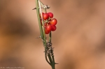 HSNP Dead Chief Trail  Winter Berries
