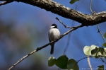 HSNP Hot Springs mountain Trail Winter Carolina Chickadee