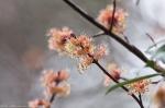 HSNP Arlington Lawn Tree Blossoms