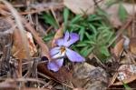HSNP Goat Rock Trail Bird Foot Violet